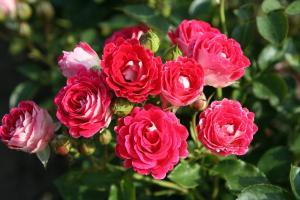 Photo du Variétés de rosiers Anne Roumanoff