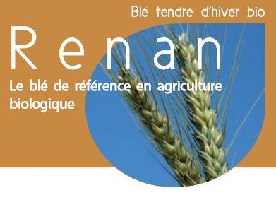 Photo du variétés blé d'hiver Renan