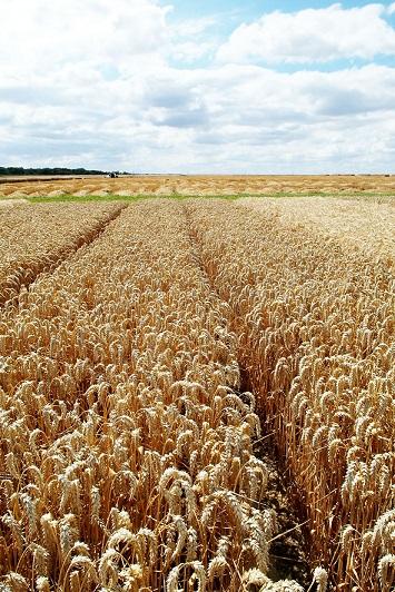 Photo du variétés blé d'hiver Descartes