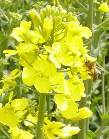 Photo du variétés de colza d'hiver Sahara