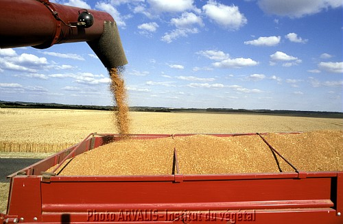 Photo du variétés blé d'hiver Apache
