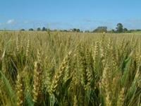 Photo du variétés blé d'hiver Koreli