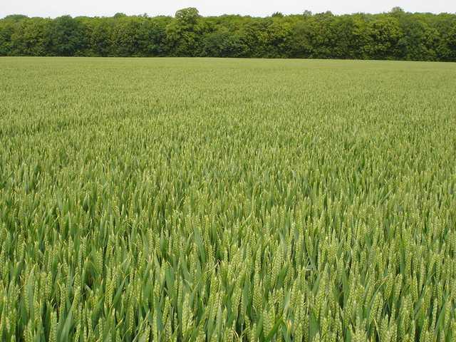 Photo du variétés blé d'hiver Arobase