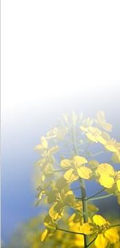 Photo du variétés de colza d'hiver NK Ready