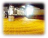 Photo du variétés d'orge d'hiver 6 rangs Azurel