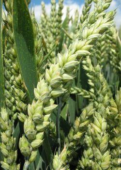 Photo du variétés blé d'hiver Aramis