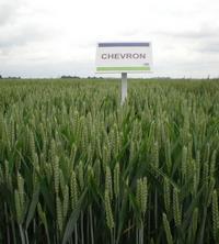 Photo du variétés blé d'hiver Chevron