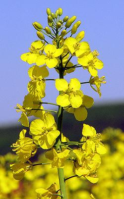 Photo du Herbicides Oléagineux Dynamo