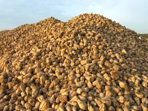 Photo du variétés de betteraves sucrières Shubert