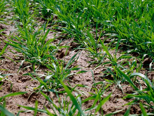 Photo du Herbicides céréales Axial Pratic