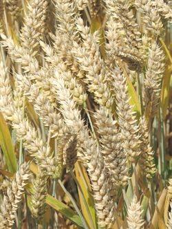 Photo du variétés blé d'hiver Arkeos