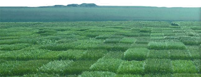 Photo du variétés blé d'hiver Oedipe