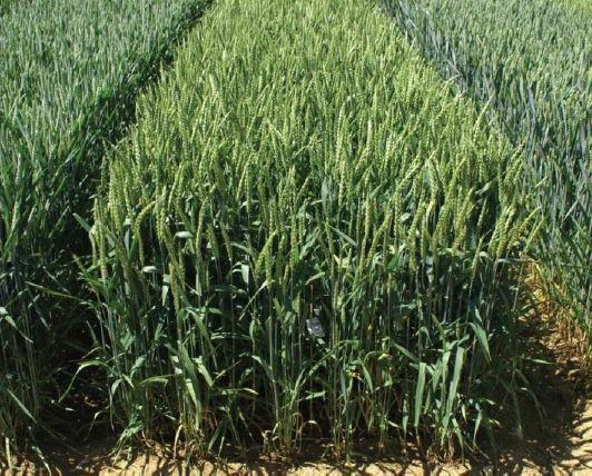 Photo du variétés blé d'hiver Solveig