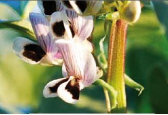 Photo du variétés de féveroles de printemps Fabelle